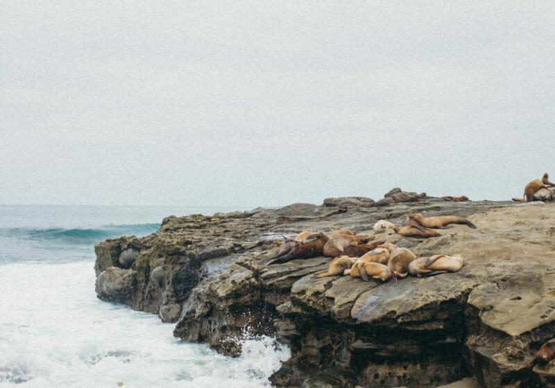 The Sea Lions & Seals of La Jolla Cove